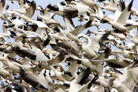 Migratory Geese